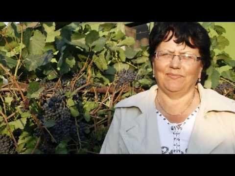 Виноград в Северных условиях это реально! | Видео (Огород.ru)