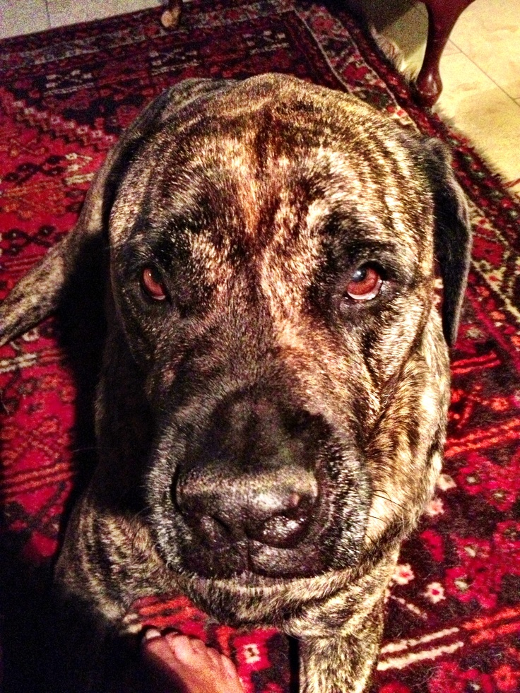 Frankie the rescued Bullmastiff 2013
