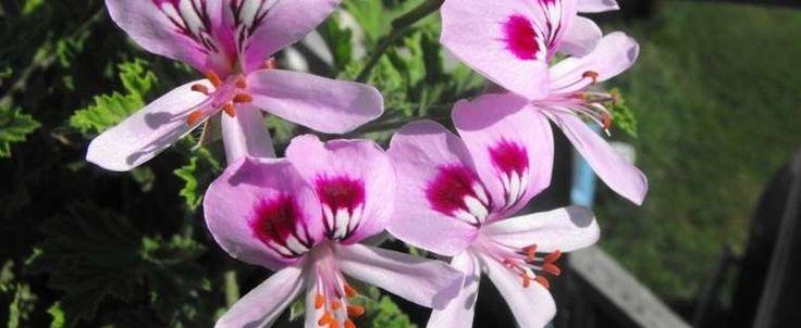 Pelargonium citrosum, Mosquito Plant, Deodorizer Plant, Citronella Plant.  Will die in Zone 7 - root cuttings in water during winter