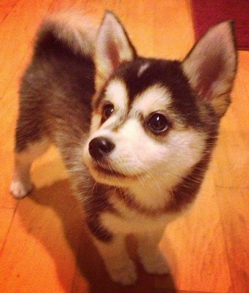 97 best images about Pom Mix Pups on Pinterest ...