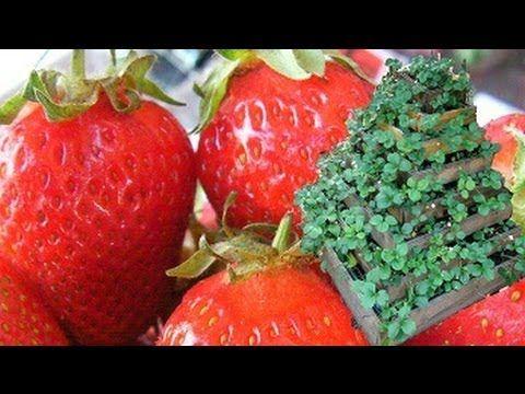 La culture facile des fraises biologique - YouTube