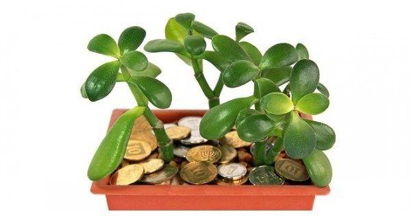 Это невероятно! Толстянка имеет множество разновидностей. Однако наиболее распространена в качестве комнатного растения толстянка древовидная, или «денежное дерево», Иногда еще это растение называют крассула, жирянка. ВНИМАНИЕ! В толстянке...