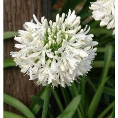 Agapanthus 'Snowball' is ideal used as a bordering plant for formal gardens or as a feature plant in cottage garden settings.