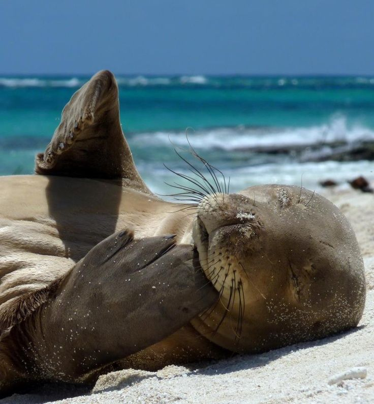 with fewer than 1,100 left in existence, the Hawaiian monk seal is the most endangered marine mammal in the world