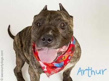 Check out *Arthur's profile on AllPaws.com and help him get adopted! *Arthur is an adorable Dog that needs a new home. https://www.allpaws.com/adopt-a-dog/pit-bull-terrier/6551363?social_ref=pinterest