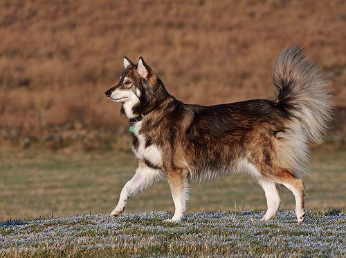 Utonagan - a breed of dog that resembles a wolf. Mix of Alaskan Malamute, German Shepherd, and Siberian Husky.