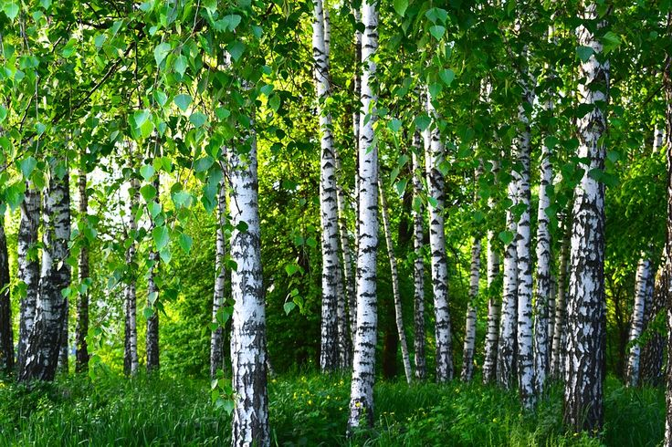 Forests as Carbon Sinks