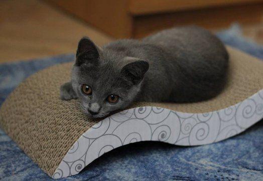 Kartouzská koťátka s PP (kočičky) - 1.jpg