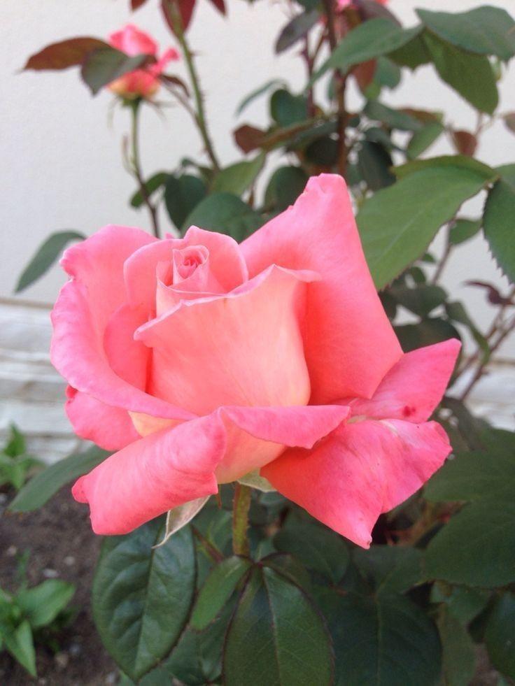 Baldur Garten Rosen. 18077 Best Rosen Images On Pinterest Roses