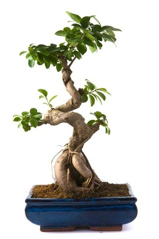 Researching Bonsai Trees In Freetown, Indiana