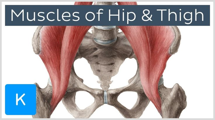 Muscle Anatomy Hip Hip Joint Anatomy Bone And Spine ...