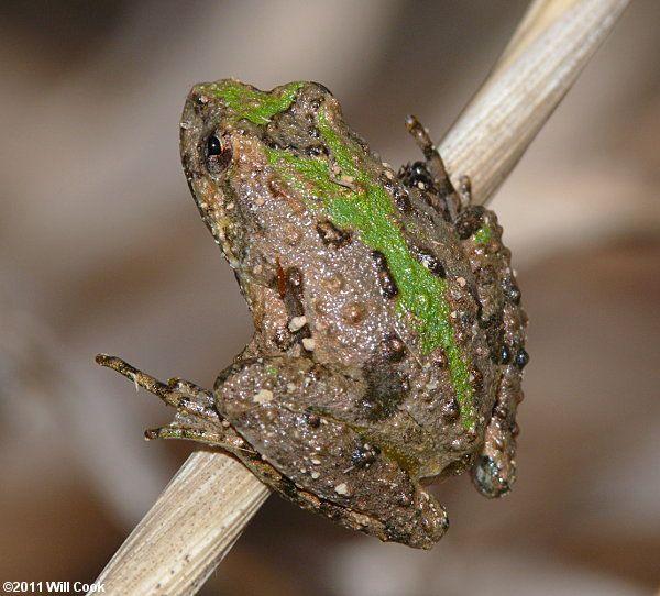 Acris crepitans [Northern Cricket Frog]