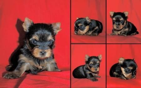 ¡Hermosos Cachorros Yorkshire Mini publicados en Vivavisos! http://venta-mascotas.vivavisos.com.ar/comprar-mascota+liniers/yorkshire--y--caniches-adultas--castradas-de-4-a-6-anos-----/49916051