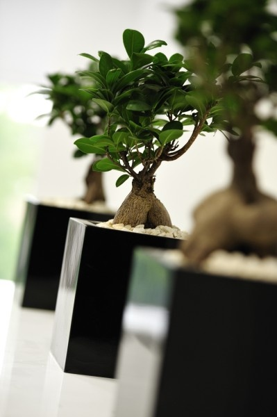 Ficus Ginseng desk bowls - 3-in-a-row - an office plant contemporary classic. Less is more!