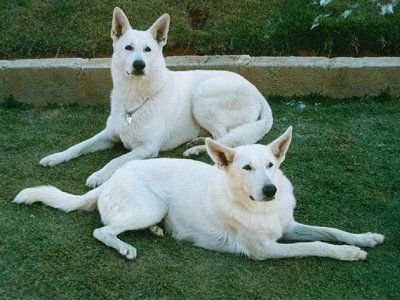 If I ever get a larger breed, I'm pretty sure I want a White German Shepard
