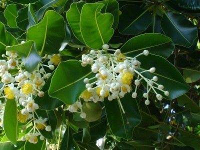 What Is A Beauty Leaf Tree – Information On Calophyllum Beauty Leaf Trees