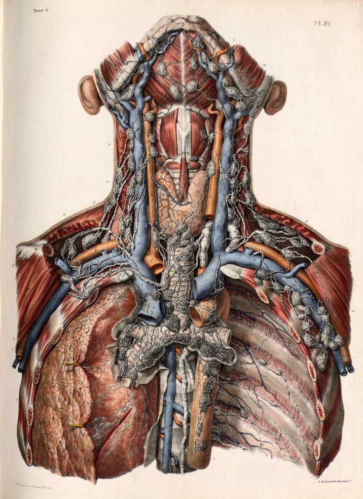 Nicolas Henri Jacob - Illustration for Traité complet de l'anatomie de lhomme comprenant la mdecine opératoire (1831-1854) by Jean-Baptiste Marc Bourgery    Lymphatic vessels and lymph nodes of the neck and thorax.