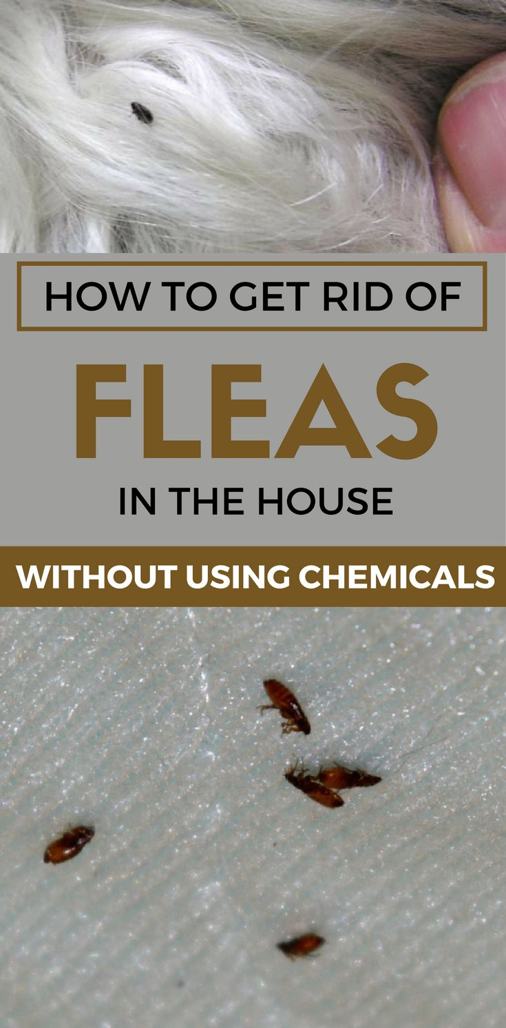 Learn how to get rid of fleas in the house without using chemicals.