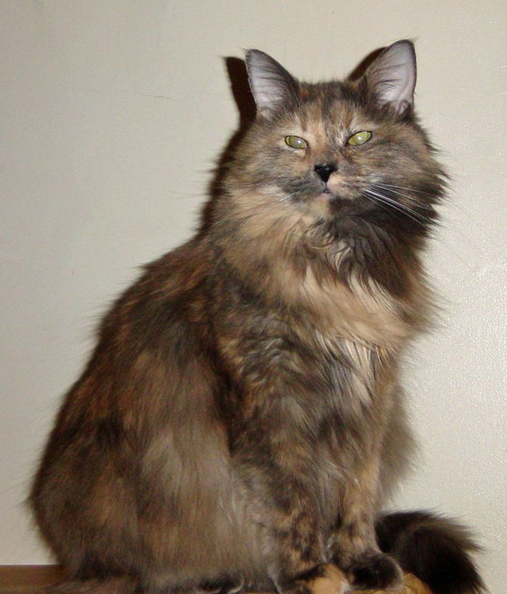 Pix For > Dilute Tortie Cat Personality