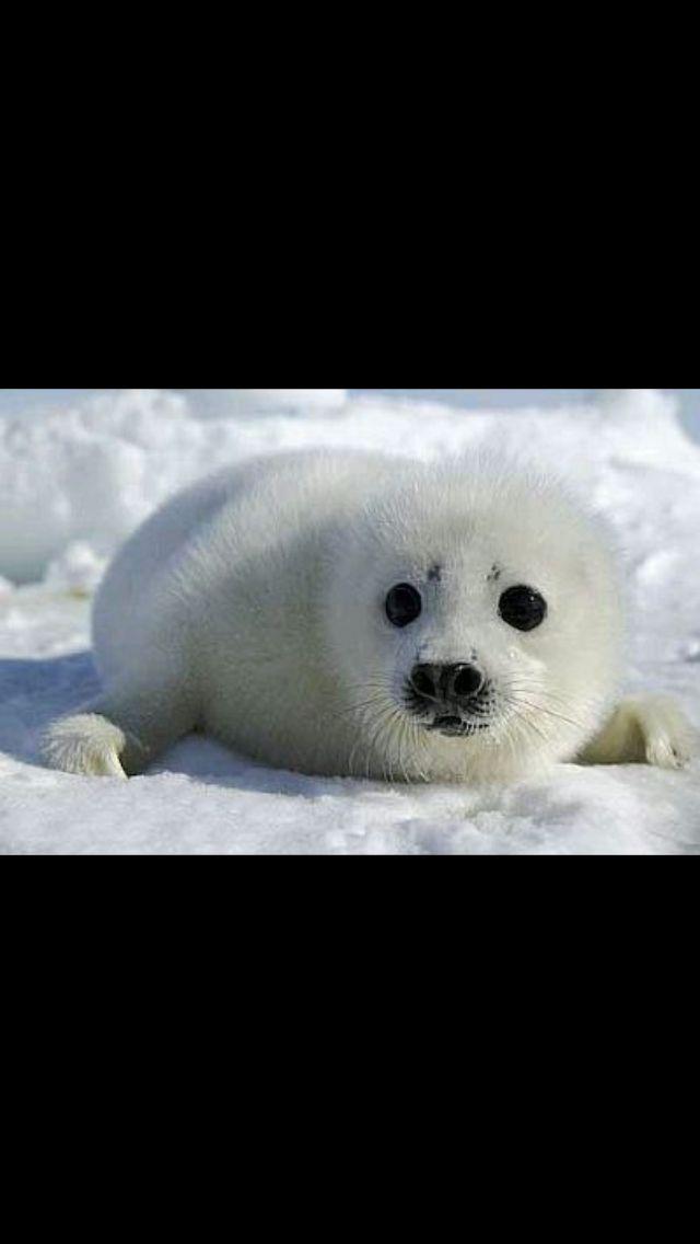 Pequeña foca descansa sobre la fresca nieve