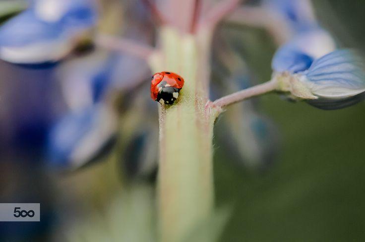 Ladybird by evening by Graziella Serra Art & Photo on 500px