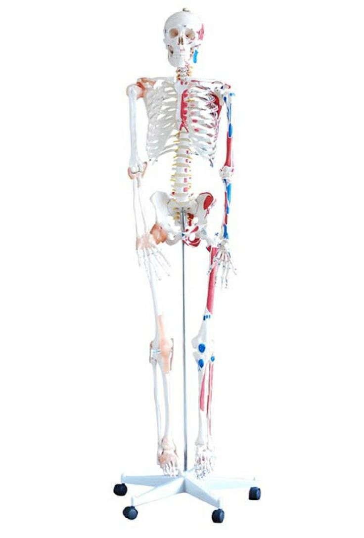 Life Size Painted Muscle Anatomical Human Skeleton Model with Ligaments