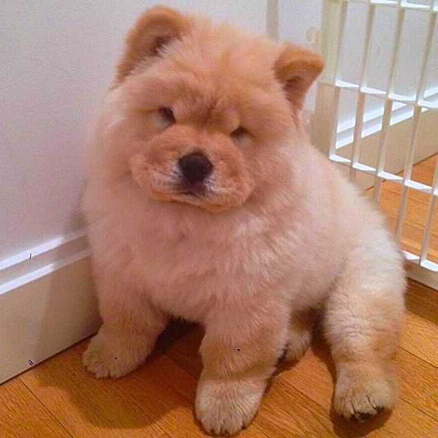 Beautiful Chubbie Chubby Adorable Dog - bdeadd5b33e0e9876e09d7b42a28a4bf--chow-puppies-chow-chow  You Should Have_445869  .jpg