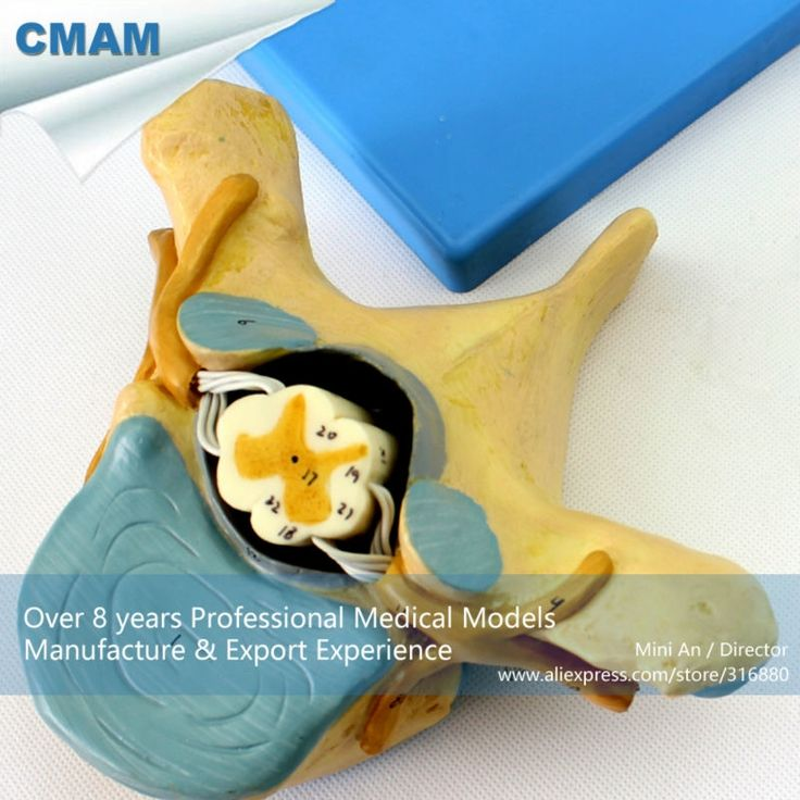 (108.99$)  Watch more here - http://aifr4.worlditems.win/all/product.php?id=554858774 - CMAM-VERTEBRA11 Thoracic Vertebrae with Spinal Cord(medical model, anatomical model)