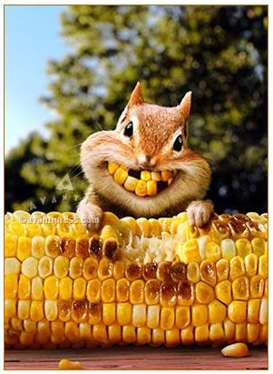 43 best greeting cards images on pinterest funny animals funny chipmunk corn teeth 200126 avanti greeting card made in usa m4hsunfo