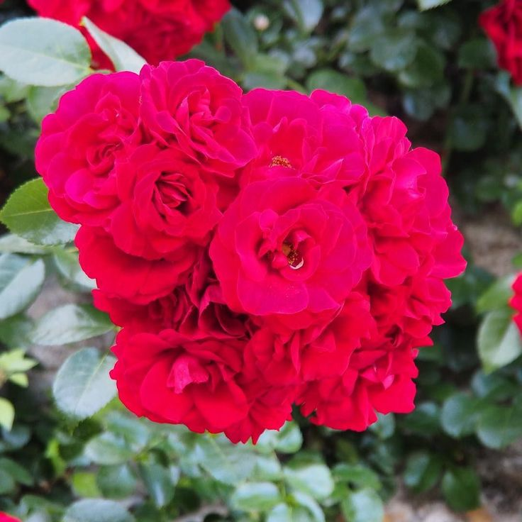 A picture to represent my hopes and fears about the General Election today  ? A hard task to do! So here's some red roses the symbol of the Labour Party. So wake up smell the roses and #VoteLabour Please!