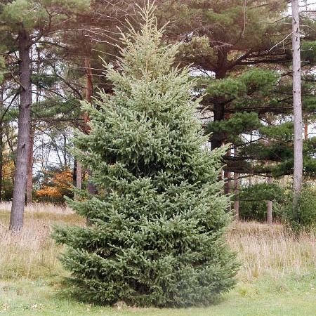 20 best spruce trees images on pinterest spruce tree nature and a gorgeous evergreen tree that will thrive in your yard the black hills spruce is fandeluxe Gallery