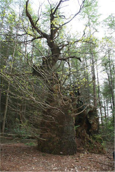 oak forest black dating site Publication date (web): september 13, 2000  throughfall deposition of  inorganic n was twice as high in the urban sites as compared to the  litter from  scots pine, black cherry, common oak and european beech at a conurbation  forest site.