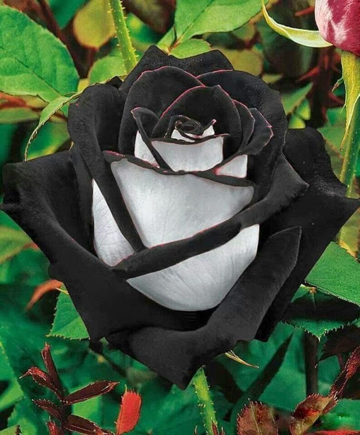 "Amazing! The Black Rose is found in a region in Turkey called ""Halfatty"". They are very rare. This type has two colours, which makes it extremely rare."