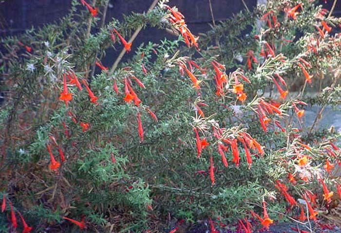 Plant photo of: Zauschneria californica