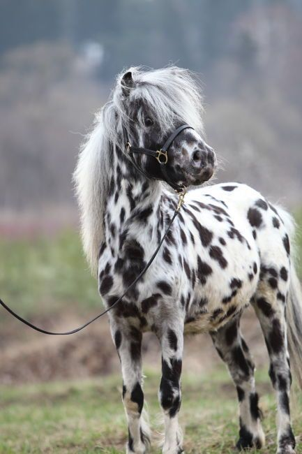 Beautiful Leopard Appaloosa spotted Horse pony.