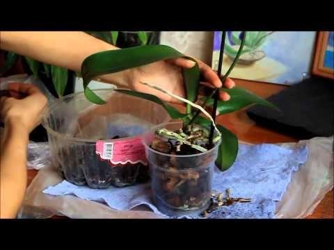 ▶ Как правильно ухаживать за орхидеей фаленопсис. Пересадка орхидеи - YouTube
