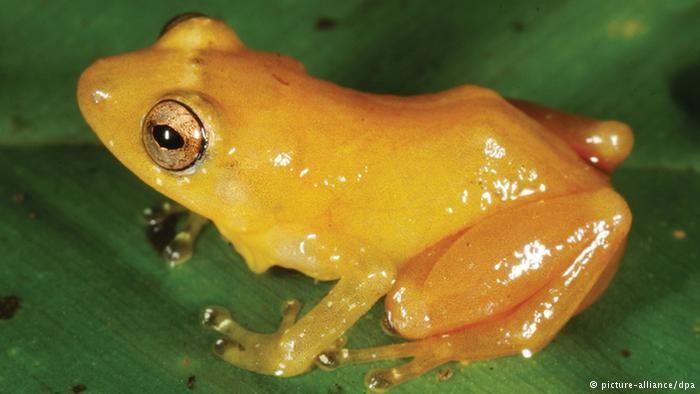 katak beracun sulawesi