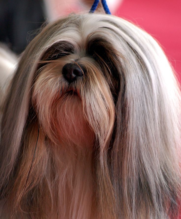 Lhasa Apso-- Fawna was the best dog in the world