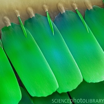 Photo of the Week Butterfly wing scales – Butterfly wing scales. Coloured scanning electron micrograph (SEM) of scales from the topside of a wing of an aega morpho (Morpho aega) butterfly.