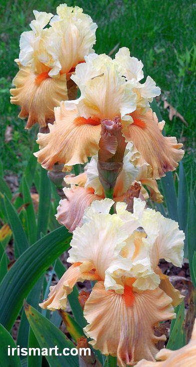 Iris barbudos altos en Iris Mart: barbudo y reblooming Lirios Fantastic Garden