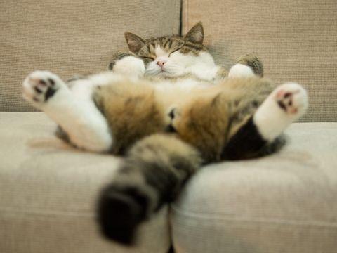 Maru sleeps on the couch (photo by Mugumogu)