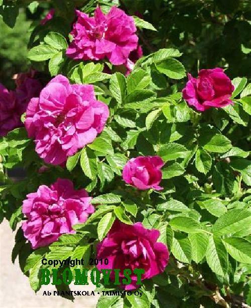 Rosa `Hansa`Hansaruusu