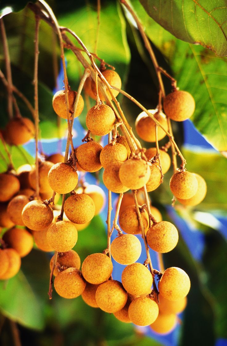 #Longan (#龍眼) is a #tropical tree that produces #edible #fruit. It is one of the better known tropical members of the soapberry family to which the #lychee also belongs. It is native to the Indomalaya ecozone defined by South #Asia and #Southeast Asia.