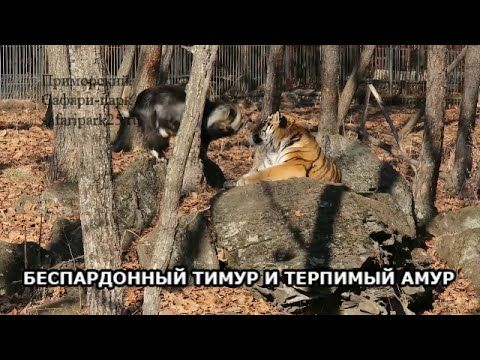 Trouble in paradise: Amur the tiger mauls 'roomie' Timur the goat (VIDEO, PHOTOS) — RT News