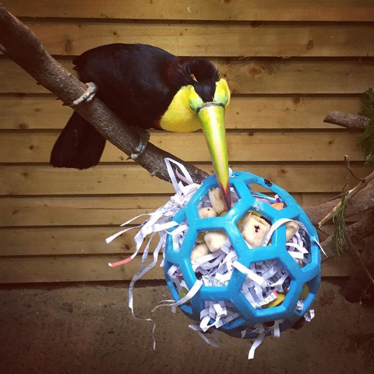 "22 Likes, 2 Comments - Sam Cooling (@sam_cooling1997) on Instagram: ""Mmm yummy enrichment! #toucan #sulphurbreastedtoucan #piciformes #ramphastossulfuratus #enrichment…"""