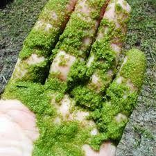 Tipos de algas que se cultivan para el biodiésel de algas