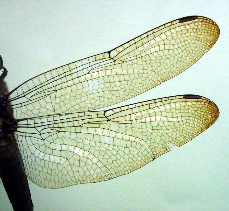 Orthetrum Testaceum Testaceum | Burmeister | 1839 | Wong.