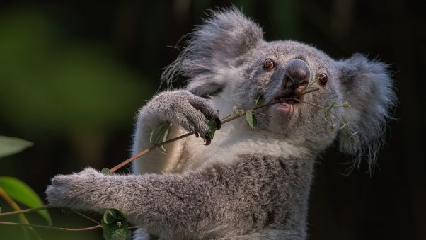 Wallpaper koala, branch, animal