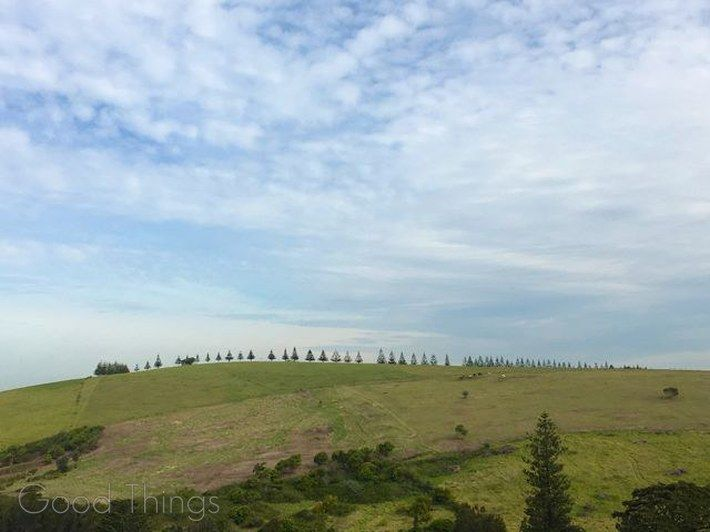 Row of Norfolk Island Pine trees at Gerringong on the NSW South Coast - Liz Posmyk Good Things