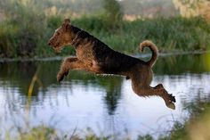This blog has the most amazing airedale/everything photos! Just WOW! Unfortunately for me its in german so I have to have google or my fiancé translate.  via Tagebuch einer Flaschenbürste